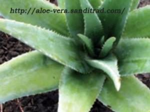Plante-aloes