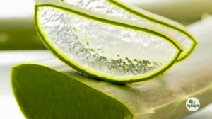 aloe vera pour le psoriasis